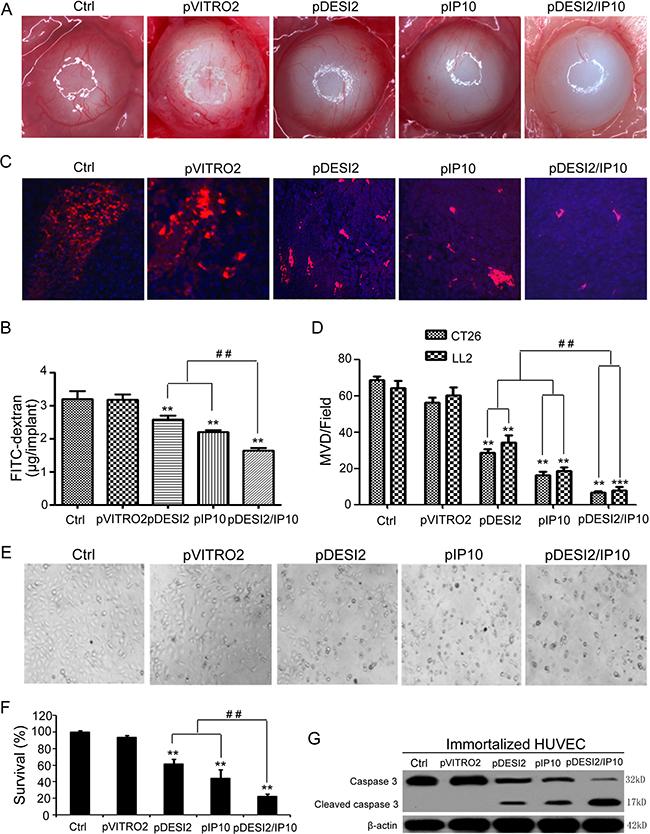 Antiangiogenesis by alginate bead assay in vivo.