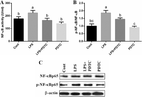 Effects of LPS and PDTC of NF-κB signal in the lung via ELISA kit and western blot.