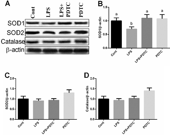 Effects of LPS and PDTC on SOD1, SOD2, and catalase expressions in the lung via western blot.