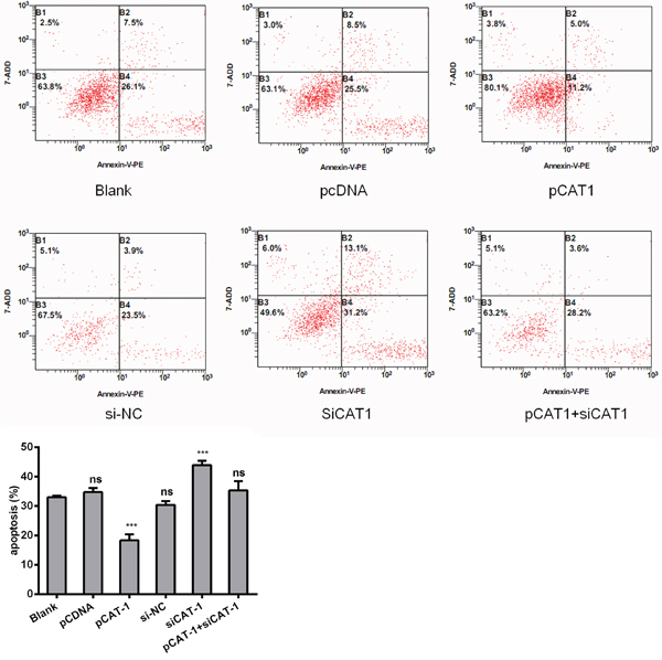 CAT-1 siRNA induces HCC cell apoptosis.