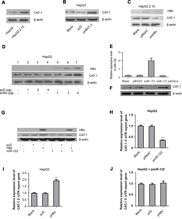 HBx promotes inhibits miR-122 to upregulate CAT-1.