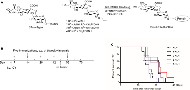 Fluoro-substituted STn vaccines induce efficient antitumor immunotherapy in the presence of adjuvant.