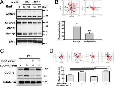 Ectopic expression of miR-1 decreased cell survival and migration ability in lung cancer cells.