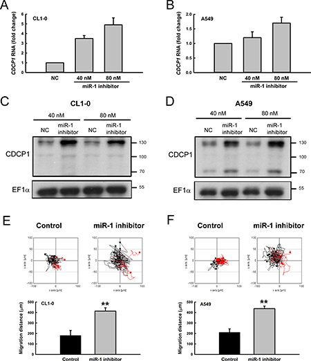 Treatment with miR-1 inhibitor increased CDCP1 expression and tumor cell mobility.