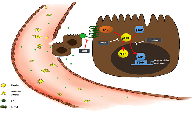 The 5-HT-Yap axis in hepatoma cells.