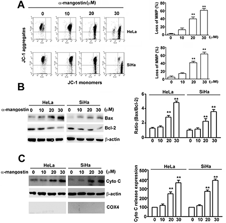 Effects of α-mangostin on apoptotic responses in cervical cancer cells.