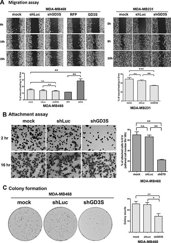 Effects of GD3S expression on cell migration, attachment efficiency, and clonogenic growth potential.