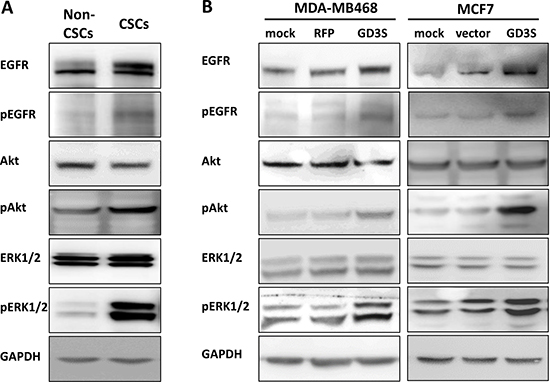 Activation of EGFR signaling pathways in breast CSCs and cancer cell lines with high GD3S expression.