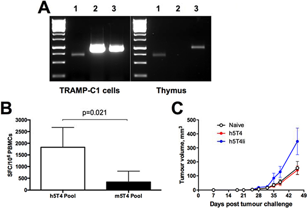 Immune responses induced against human 5T4 antigen do not protect against tumours expressing murine 5T4 despite in vitro cross-reactivity.
