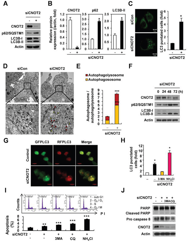 Depletion of CNOT2 induces autophagy via accumulation of p62/SQSTM1 and LC3B-II conversion, LC3 fluorescent puncta and autophagosomes, but impairs autophagic flux in H1299 cells.