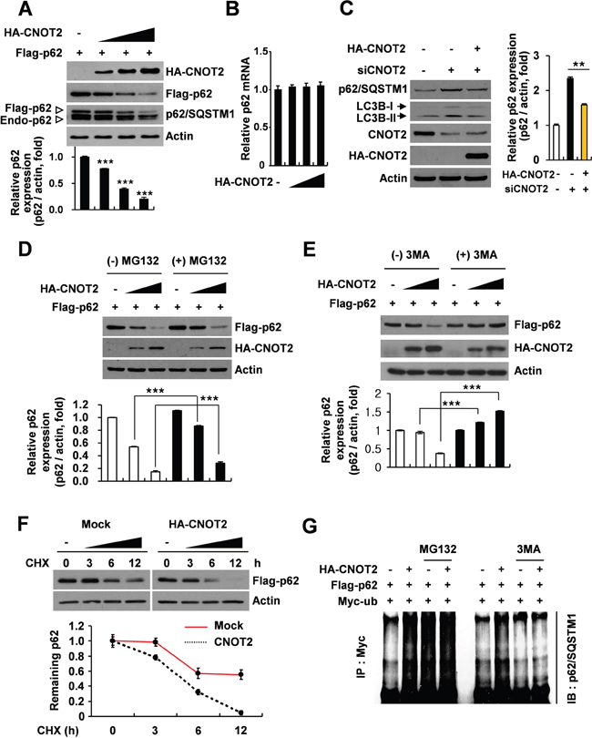 CNOT2 increases ubiquitination and degradation of p62/SQSTM1 protein in HEK293 QBI cells.