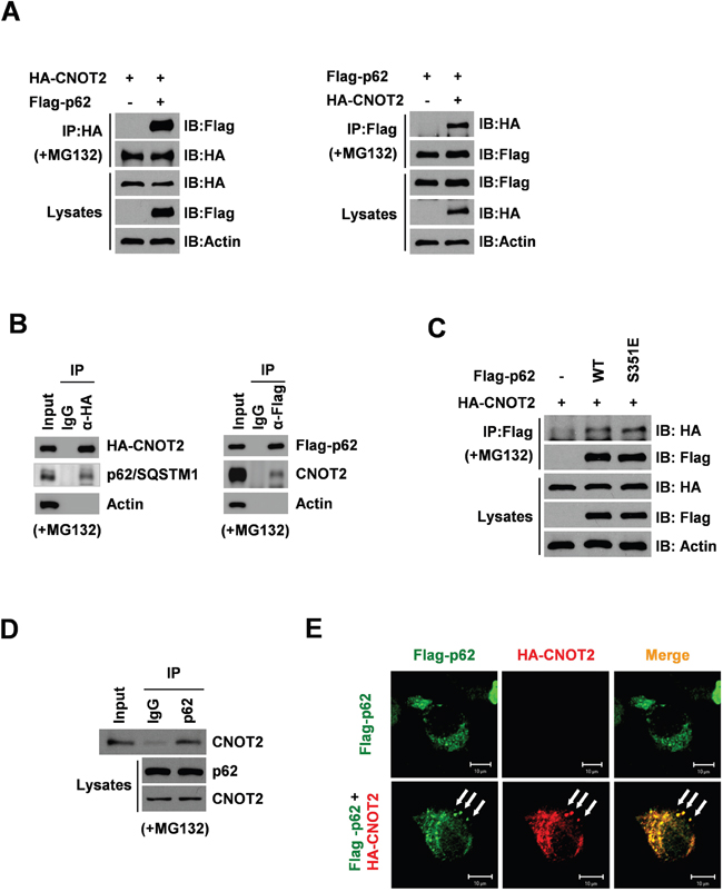 CNOT2 correlates with p62/SQSTM1 in HEK293 QBI cells by co-immunoprecipitation and immunofluorescence.