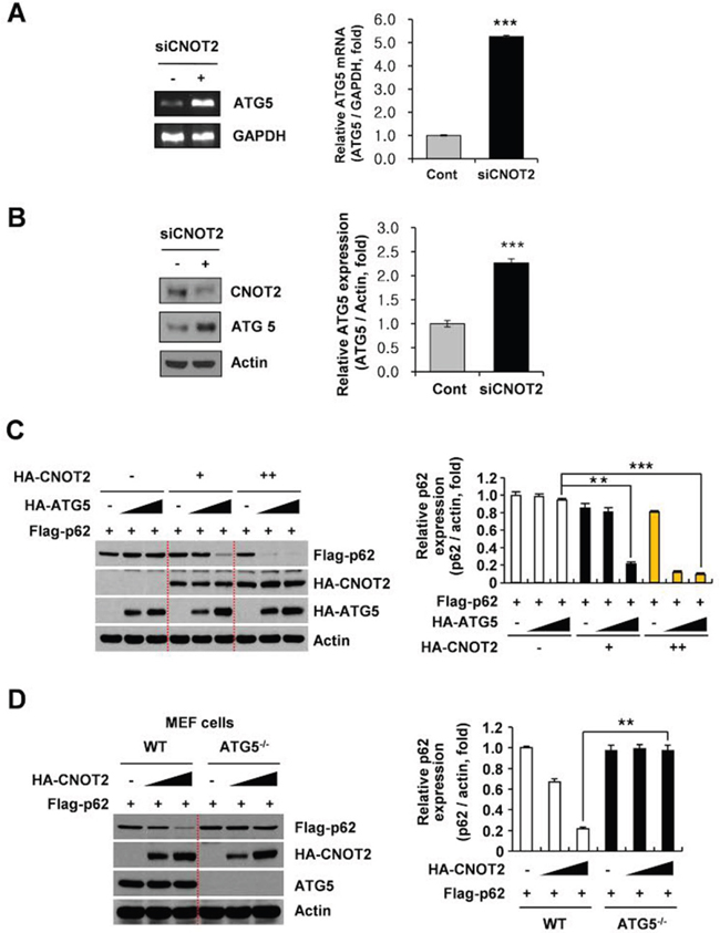 ATG5 is critically involved in CNOT2 induced degradation of p62/SQSTM1 in H1299 cells.