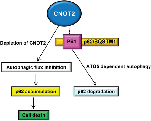 Schematic illustration for the correlation between CNOT2 and p62/SQSTM1 through ATG5 dependent autophagy.
