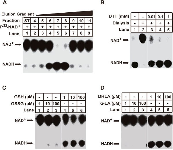 Identification of the GSH/DHLA-dependent NAD+-reduction activity in cellular extracts.