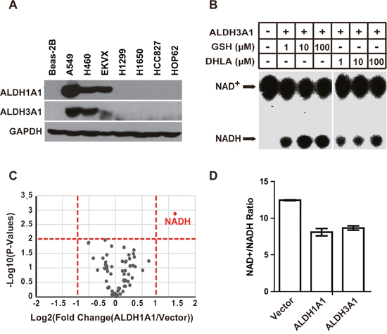 ALDH3A1 possesses the same GSH/DHLA-dependent NAD+-reduction activity as ALDH1A1.