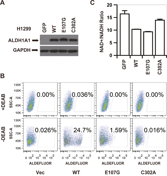 The GSH/DHLA-dependent NAD+-reduction activity caused NAD+/NADH ratio changes in vivo.