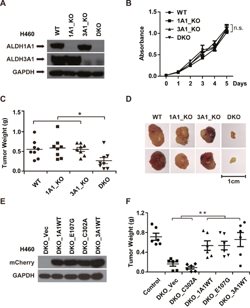 The GSH/DHLA-dependent NAD+-reduction activity of ALDH1A1 promotes tumor growth.