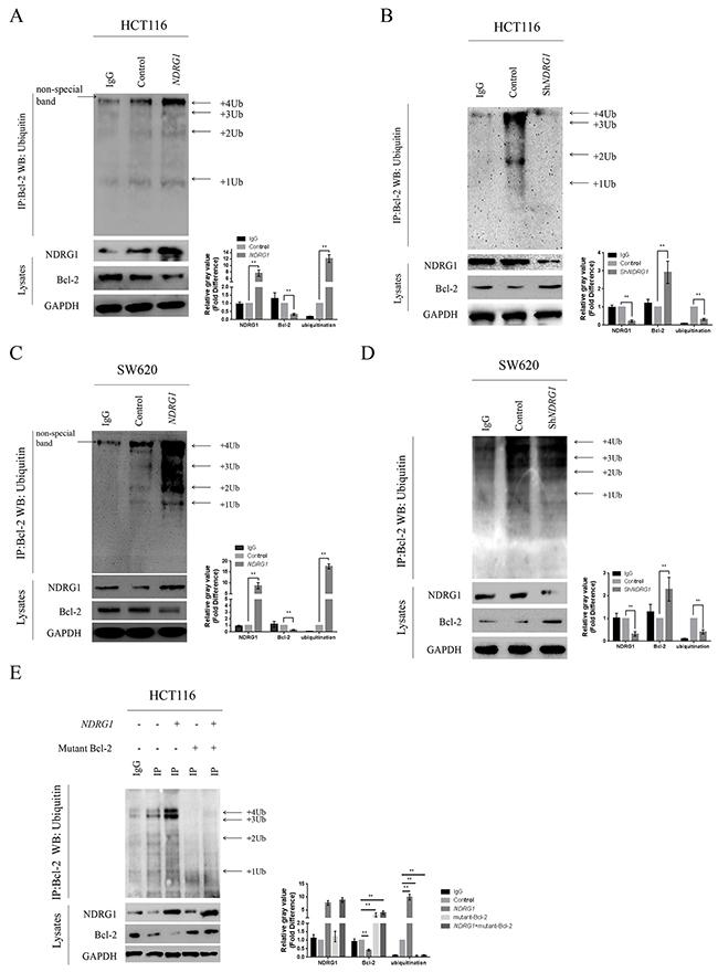 NDRG1 enhanced Bcl-2 ubiquitination.