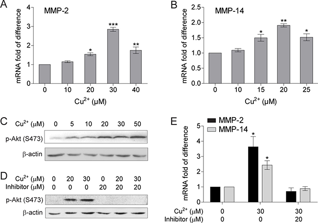 Cu2+ stimulates MMP-2 and MMP-14 expression in HCC cells through activating PI3K/Akt signaling pathway.