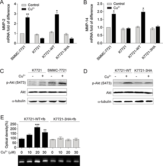 Self-association of CD147 mediated by Cu2+ up-regulates MMP-2 and MMP-14 expression.