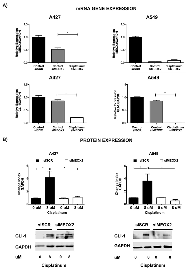 Inducible expression of GLI-1 mRNA and protein occurs in a MEOX2-dependent manner and is involved in cancer drug resistance.