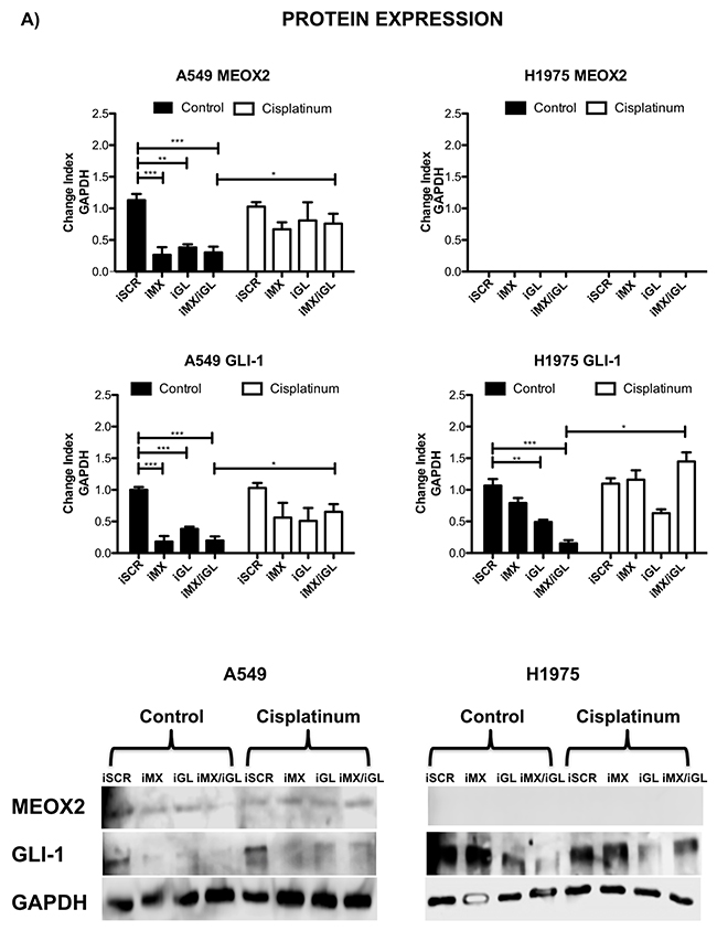Inducible MEOX2-GLI1 axis expression was involved in cellular migration and cellular proliferation in lung cancer cells.