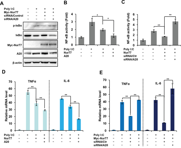 Inhibitory effect of Nur77 on poly (I:C)-activated NF-κB is dependent on A20 expression.