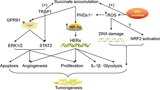 Roles of accumulated succinate in tumorigenesis and progression.