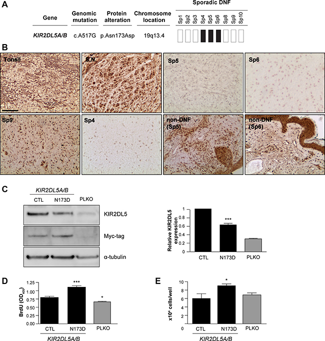 KIR2DL5N173D mutation reduces KIR2DL5 expression.