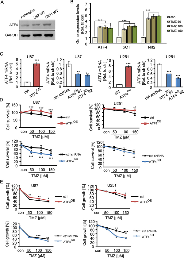ATF4 induces TMZ resistance in glioma cells.