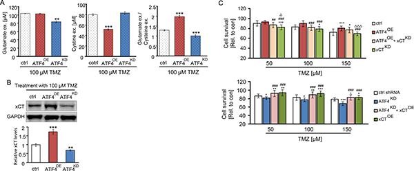 ATF4 modulates the amino acids secretion of glioma cells.