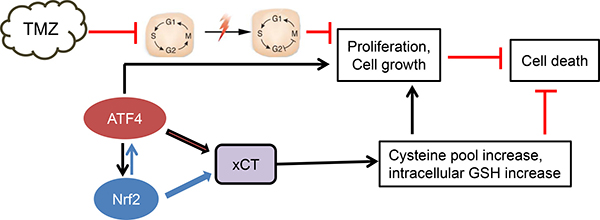 Proposed scheme of ATF4 action in chemo-resistance.