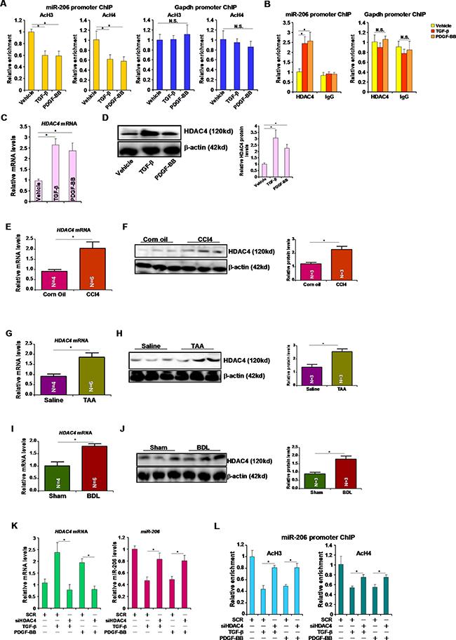 HDAC4 represses miR-206 transcription.