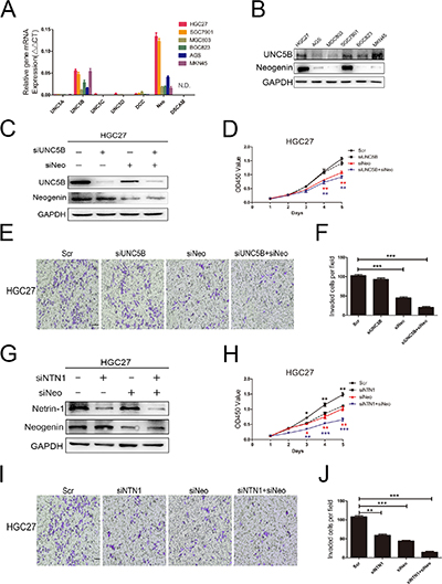 GC cells proliferation and invasion abilities were mediated by neogenin.