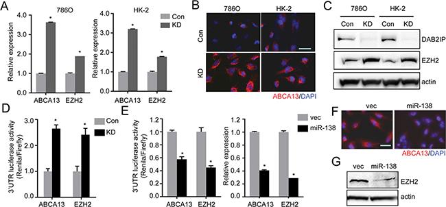 miR-138 targets ABCA13 and EZH2 mRNA via the 3′-UTR regions.