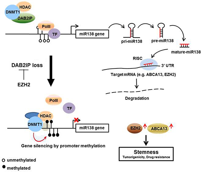 Summary of the regulation mechanism of miR-138 on suppressing RCC-CSCs.