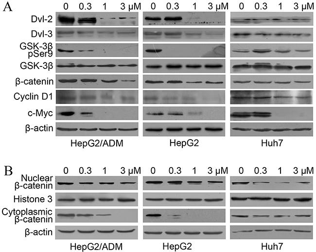 Dalbinol suppressed Wnt/β-catenin signaling in HCC cells.