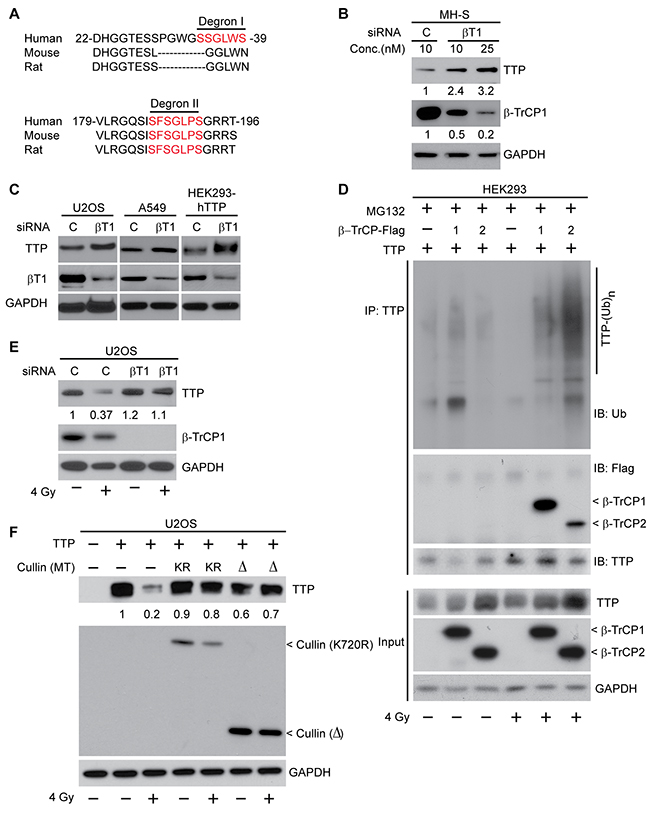 SCFβ-TrCP is the ubiquitin ligase involved in radiation-induced TTP degradation.