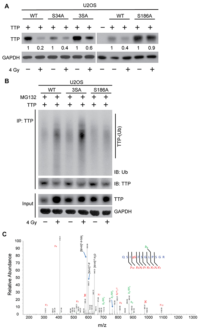 Radiation-induced Ser186 phosphorylation of TTP primes it for polyubiquitination.