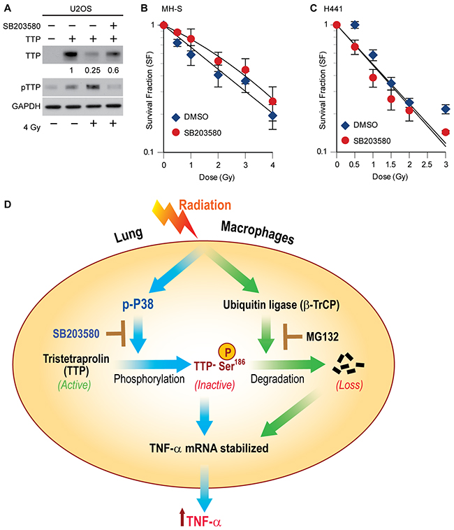P38 inhibitor (SB203580) blocks radiation-induced TTP degradation and radioprotects lung macrophages.