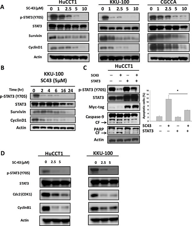 Inhibition of p-STAT3 determines the sensitizing effects of SC-43 in CCA cells.