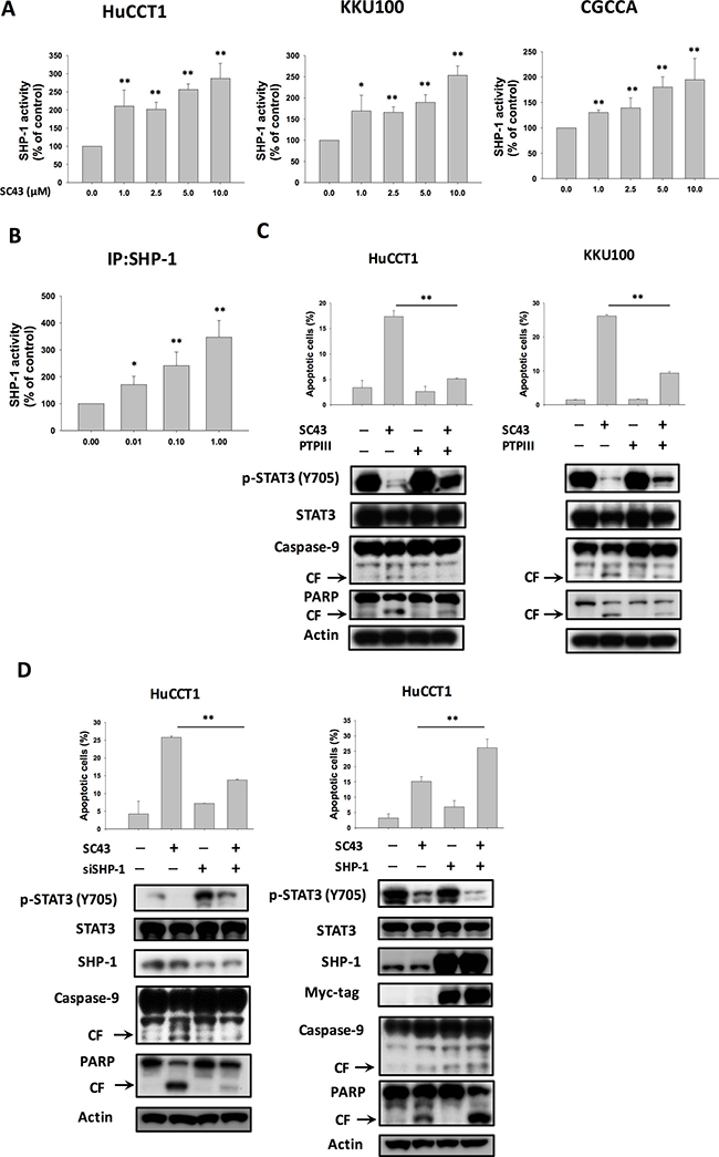 SHP-1/p-STAT3 mediates SC-43-induced apoptosis in CCA cells.