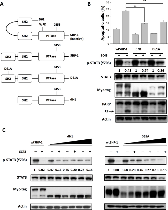 SC-43 activates SHP-1 by relieving the autoinhibition of the SH2 domain.