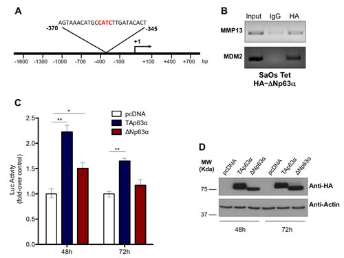 p63 directly binds and transactivates MMP13 promoter.