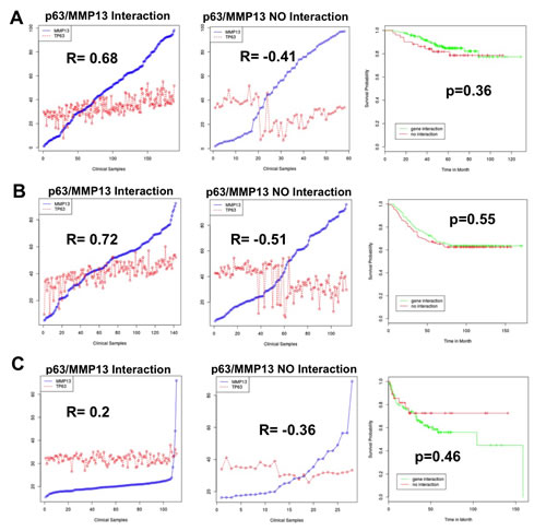 p63/MMP13 correlation does not function as prognostic marker in cancer.