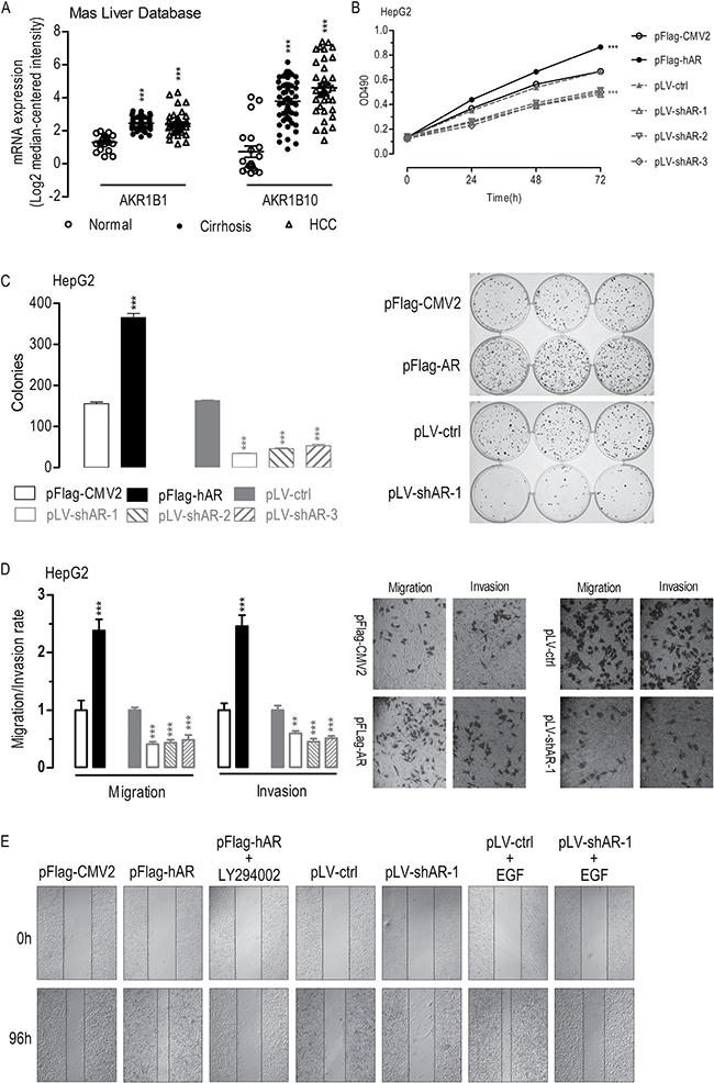 Effects of AR overexpression or knockdown on cell proliferation, migration, invasion, colony formation, and wound-healing in HepG2 cells.