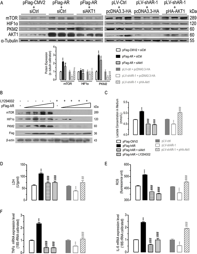 AKT1 was essential for AR-induced alterations in AKT/mTOR signaling, lactate formation and TNFα/IL-6 mRNA expression.
