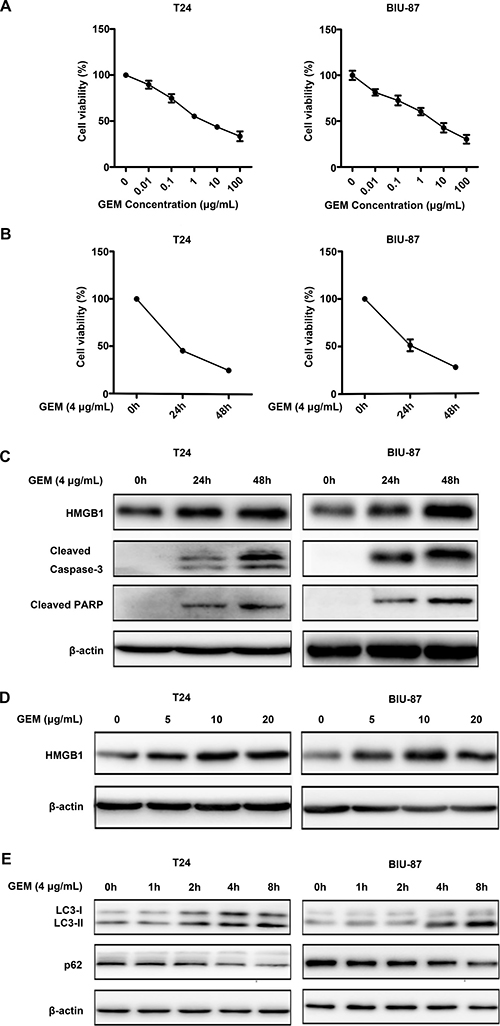 Gemcitabine induces apoptotic cell death and HMGB1 expression in bladder urothelial carcinoma cells.