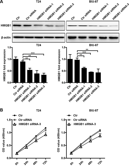 Suppressing HMGB1 expression results in declined cell viability.